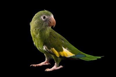 Photo: White-winged parakeet (Brotogeris versicolurus) at Cafam.