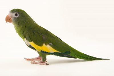 Photo: White-winged parakeet (Brotogeris versicolurus) at Cafam Zoo in Melgar, Colombia.