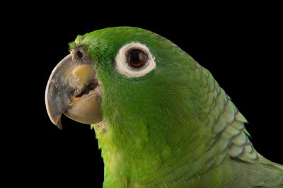 Photo: Scaly-naped amazon (Amazona mercenaria) at Cafam Zoo