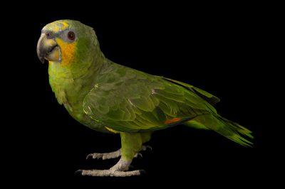 Orange-winged Amazon (Amazona amazonica amazonica) at Cafam Zoo