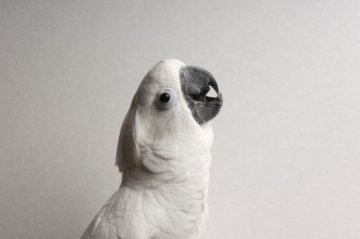 Photo: An umbrella, or white, cockatoo (Cacatua alba) at the Bramble Park Zoo.