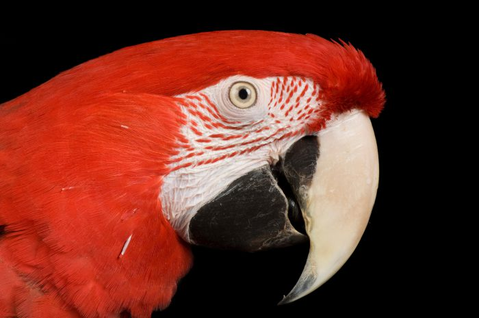 Photo: A green-winged macaw or green and red macaw (Ara chloroptera).