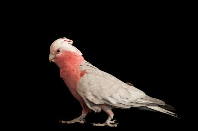 Photo: A galah, Eolophus roseicapilla.