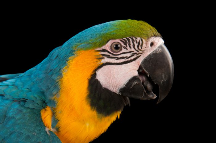 Photo: A blue-and-yellow macaw, Ara ararauna.