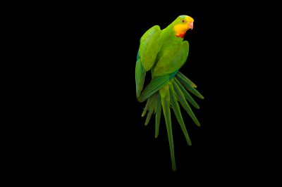 Photo: A superb parrot, Polytelis swainsonii.