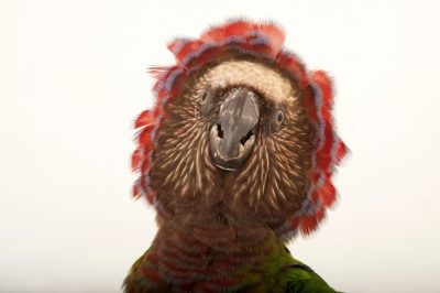 Photo: A hawk-headed parrot, Deroptyus accipitrinus.