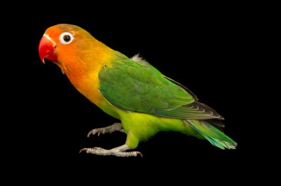 Photo: Lilian's or Nyasa lovebird ( Agapornis lilianae ) in Choussy, France.