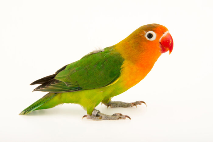 Photo: A Lilian's or Nyasa lovebird (Agapornis lilianae) in Choussy, France.