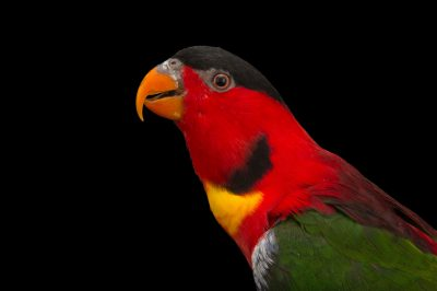 Photo: Yellow-bibbed lory (Lorius chlorocercus) in Choussy, France.