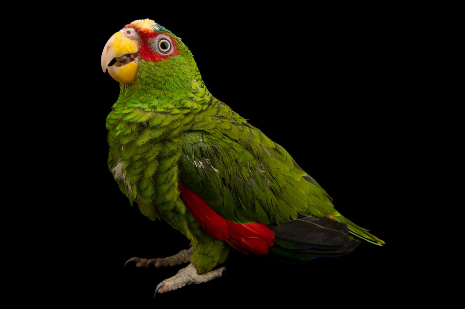 Photo: White-fronted Amazon (Amazona albifrons nana) in Choussy, France.