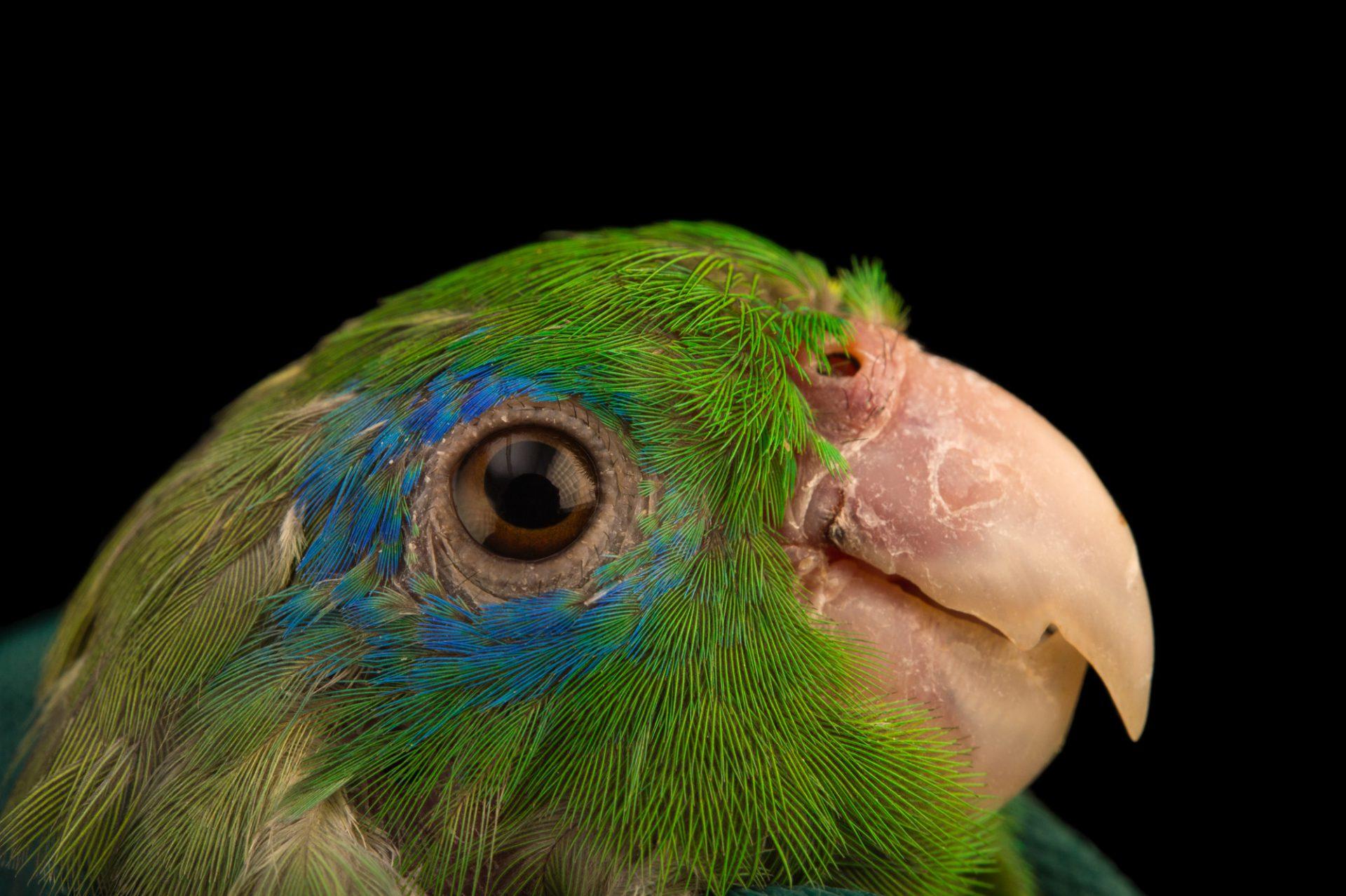 Photo: Spectacled parrotlet (Forpus conspicillatus) at Piscilago.