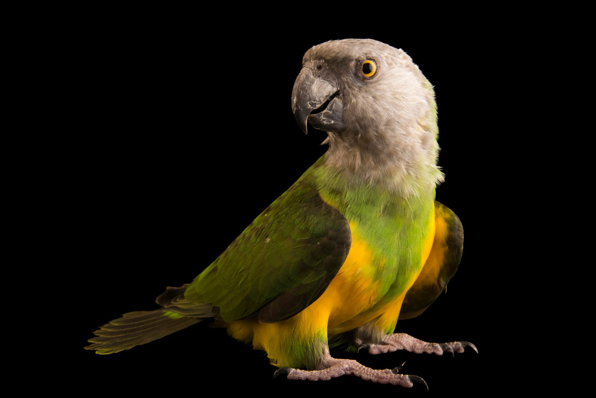 Photo: Senegal parrot (Poicephalus senegalus senegalus) at a private collection in Tenerife.
