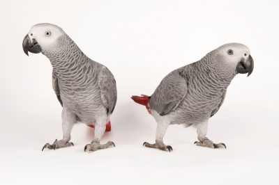 Photo: Endangered African grey parrots (Psittacus erithacus erithacus) at Parrots in Paradise, a bird attraction in Glass House Mountains, Queensland.