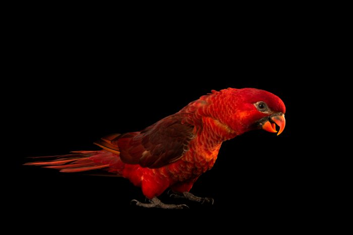 Photo: A female cardinal lory (Chalcopsitta cardinalis) at the Cincinnati Zoo.