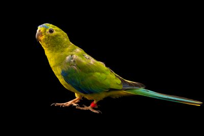 Photo: Orange-bellied parrot (Neophema chrysogaster) at Moonlit Sanctuary