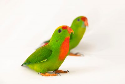 Photo: Two Philippine hanging parrot (Loriculus philippensis regulus) at Negros Forest Park.