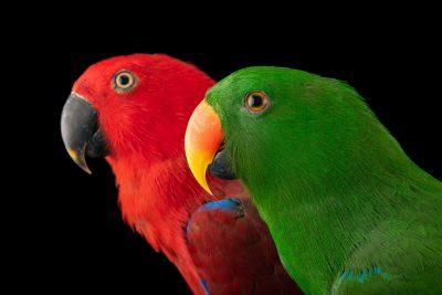 Photo: A pair of Sumba Island eclectus parrots (Eclectus roratus cornelia) at Jurong Bird Park, of Wildlife Reserves Singapore.