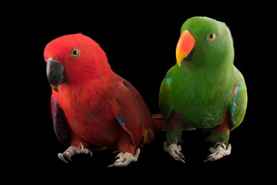 Photo: A pair of Sumba Island eclectus parrots (Eclectus roratus cornelia) at Jurong Bird Park, of Wildlife Reserves Singapore.