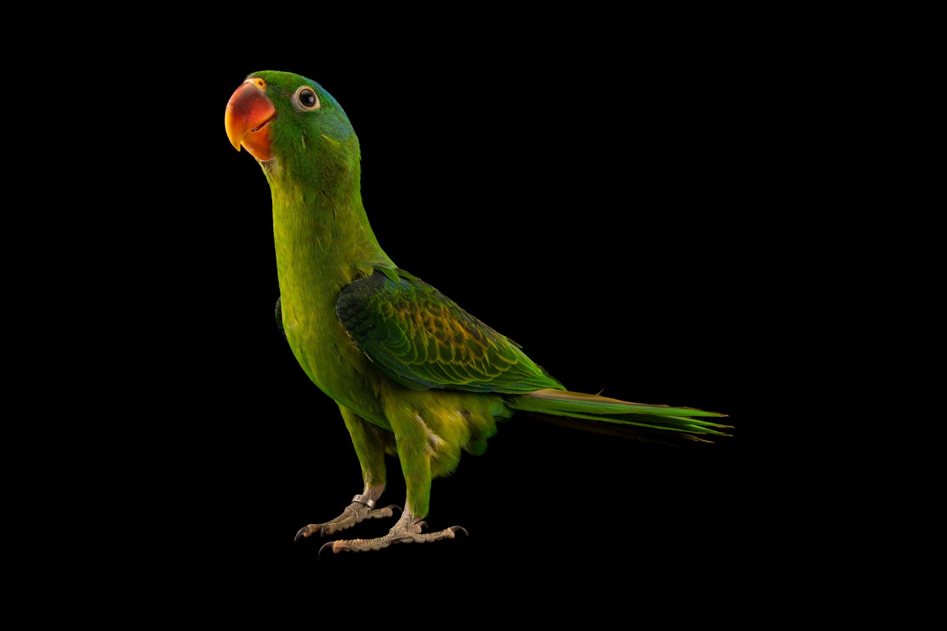 Photo: A blue-naped parrot (Tanygnathus lucionensis salvadorii) at the Talarak Foundation in Kabankalan City, Negros Occidental, Philippines.