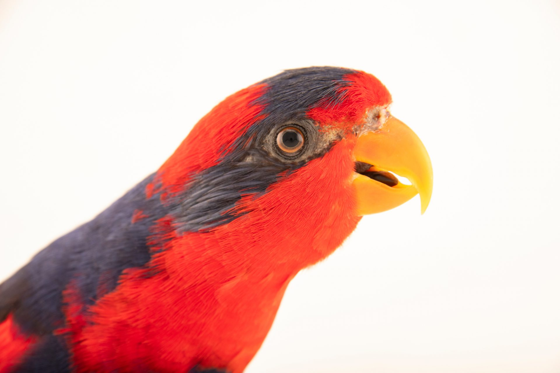 Photo: An endangered red and blue lory, Eos histrio talautensis, at the Talarak Foundation.