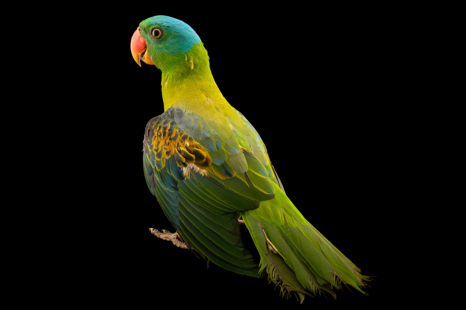 Photo: A blue-naped parrot, Tanygnathus lucionensis salvadorii, at Talarak Foundation.