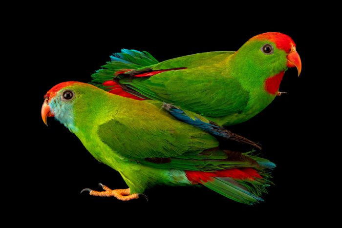 Photo: Two Philippine hanging-parrots (Loriculus philippensis worcesteri) at Farmville de Bago, a private collection in the Philippines.