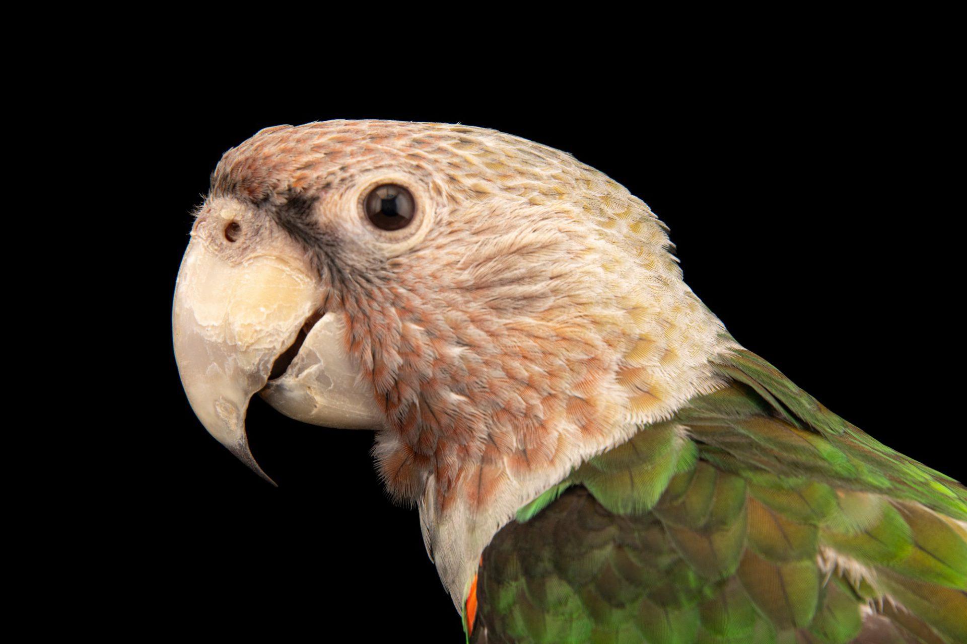 Photo: Brown-necked parrot (Poicephalus fuscicollis suhaelicus) at the Avilon Zoo.