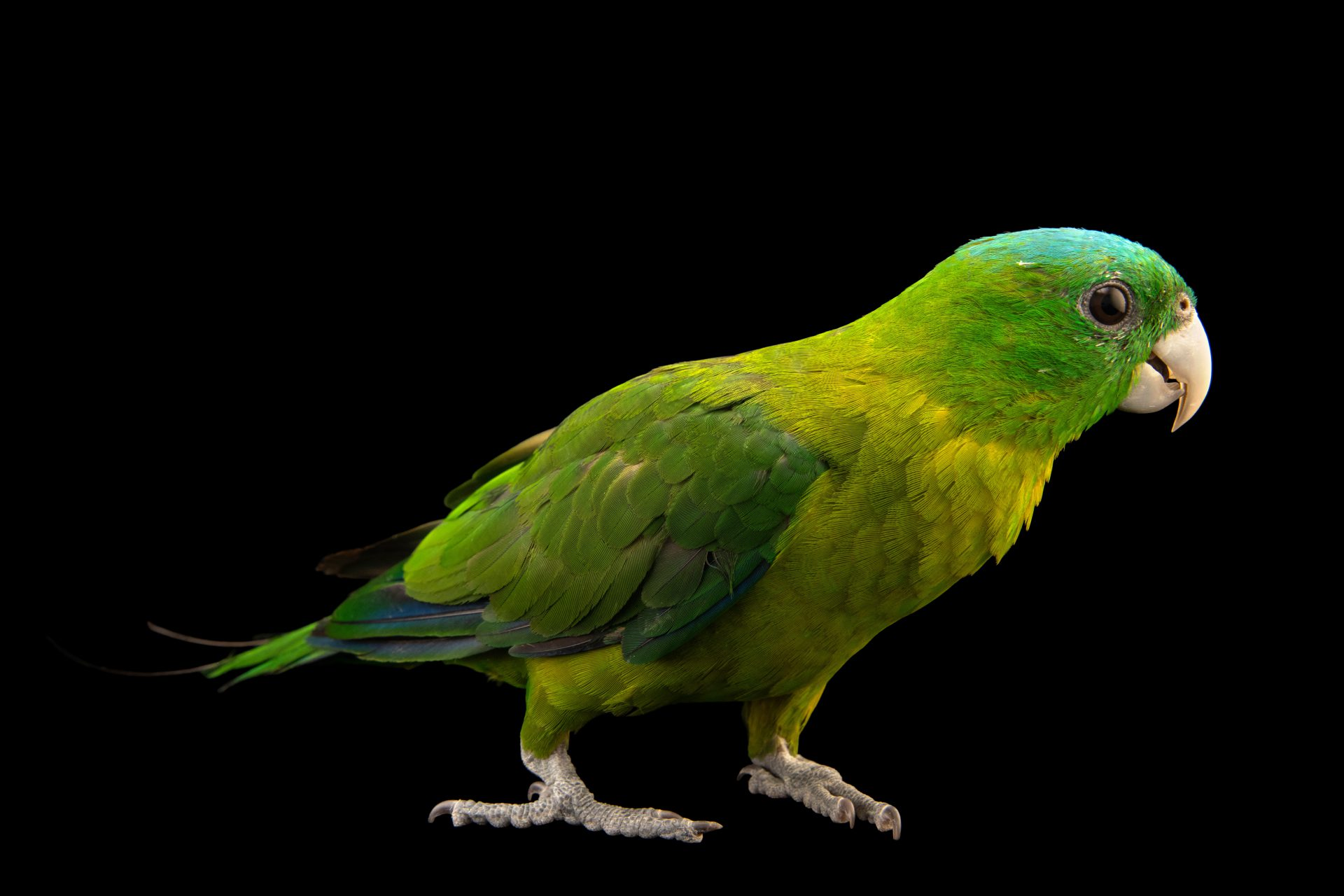 Photo: A blue-crowned racket-tail parrot (Prioniturus discurus discurus) at the Avilon Zoo.