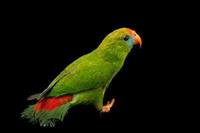 Photo: A Philippine hanging parrot (Loriculus philippensis philippensis) at the Avilon Zoo.