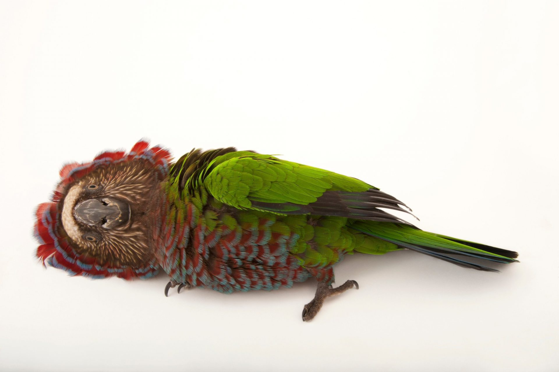 A northern red fan parrot (Deroptyus accipitrinus accipitrinus) at the Houston Zoo. This unusual Amazon basin parrot has a crown of brightly-colored head feathers it raises when it feels threatened or aggressive.