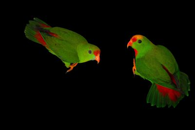 Photo: Two Philippine hanging parrots (Loriculus philippensis regulus) at Negros Forest Park.