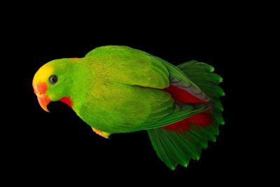 Photo: A Philippine hanging parrot (Loriculus philippensis regulus) at Negros Forest Park.