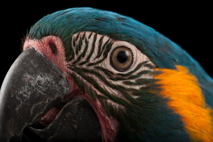 Photo: A critically endangered blue-throated macaw (Ara glaucogularis) at the Houston Zoo.