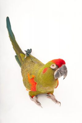 Photo: An endangered red-fronted macaw (Ara rubrogenys) at the Miller Park Zoo.