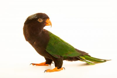 Photo: A Stella's lorikeet (Charmosyna papou) at a private collection in Jakarta, Indonesia.
