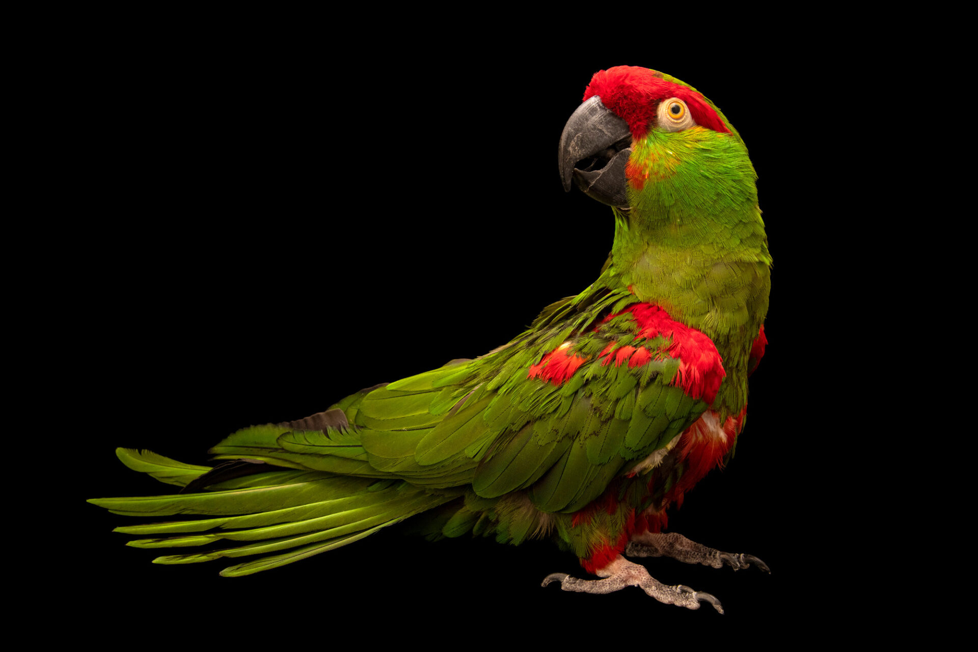 Photo: An endangered thick-billed parrot (Rhynchopsitta pachyrhyncha) at World Bird Sanctuary.