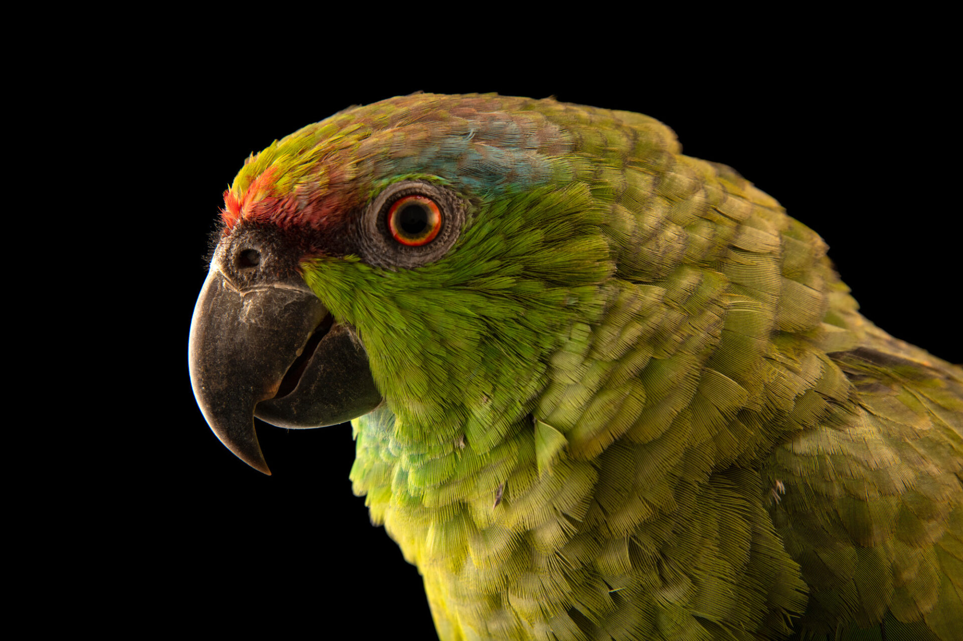 Photo: A festive Amazon parrot (Amazona festiva) at Cetas-IBAMA, a wildlife rehab center in Manaus, Brazil.