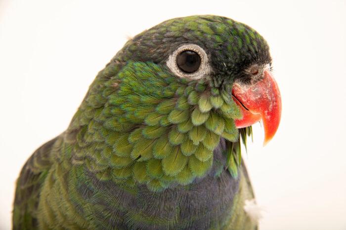 Photo: A red billed parrot (Pionus sordidus) at Zoologico de Quito.