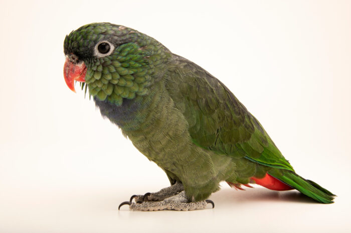 Photo: A red billed parrot (Pionus sordidus) at Zoologico de Quito.