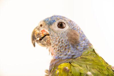 Photo: A blue-headed parrot (Pionus menstruus rubrigularis) at Zoologico de Quito.