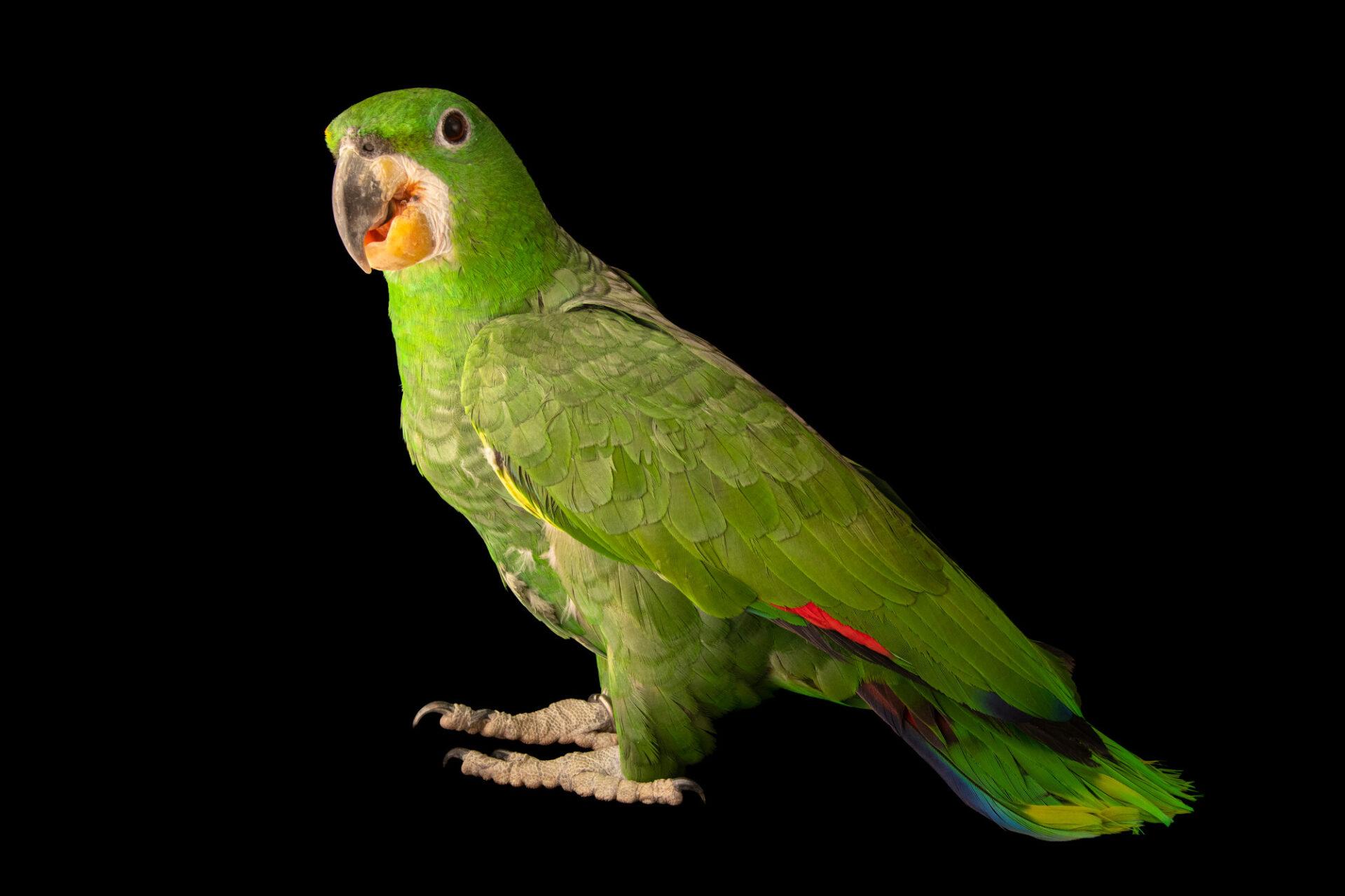 Photo: A Kawall's amazon (Amazona kawalli) at Fundacao Jardim Zoologico de Brasilia.