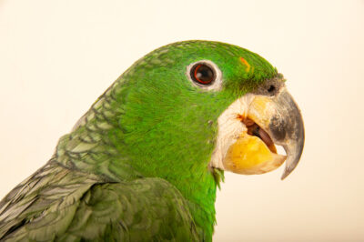 Photo: A Kawall's amazon (Amazona kawalli) at Fundacao Jardim Zoologico de Brasilia.