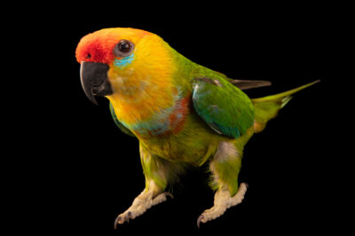 Photo: A large fig parrot (Psittaculirostris desmarestii desmarestii) at the Prague Zoo.