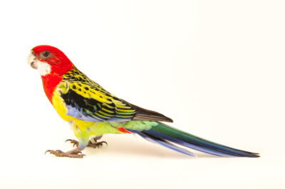 Photo: An Eastern rosella (Platycercus eximius eximius) at Zoo Plzeň.