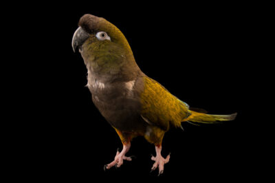 Photo: A Chilean burrowing parrot (Cyanoliseus patagonus bloxami) at Unidad de Rehabilitación de Fauna Silvestre.