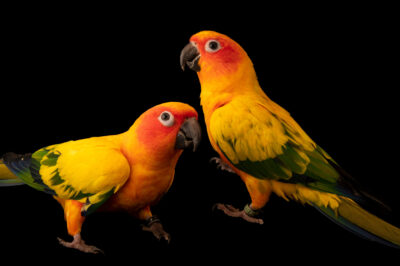 Photo: Two sun conures (Aratinga solstitialis) at the North Carolina Zoo.