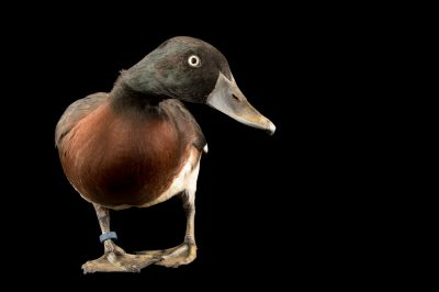 Photo: A critically endangered Baer's pochard (Aythya baeri), at the Plzen Zoo in Plzen, Czech Republic.