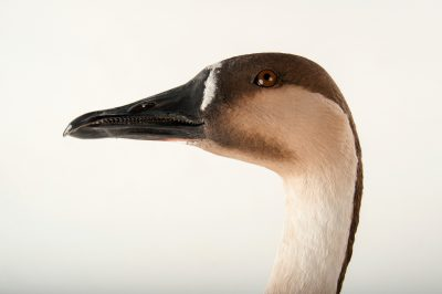 Picture of a swan goose (Anser cygnoides) listed as vulnerable at the Miller Park Zoo.