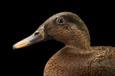 Picture of an endangered (IUCN) and federally endangered Hawaiian duck (Anas wyvilliana) at the Plzen Zoo.