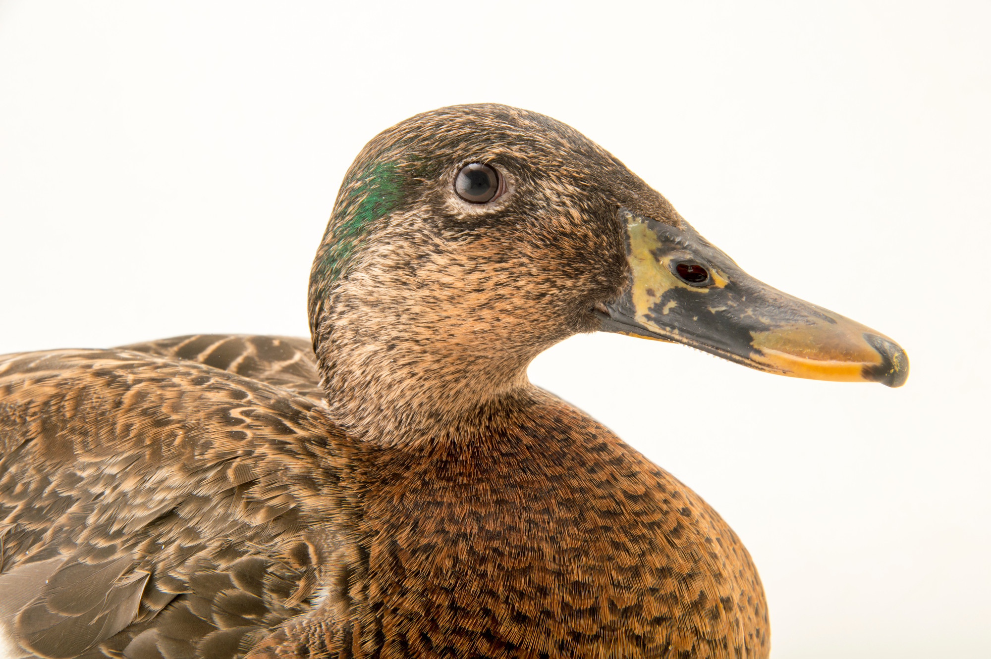 the hawaiian duck is an endangered species Hawaii is the endangered species capital of the world many species on the endangered list (mostly plants) come from hawaii this page is dedicated to the endangered species of hawaii.